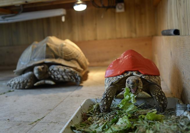 GOLDEN, CO - MARCH 25: Cleopatra, a leopard tortoise, whose shell is deformed because of malnutrition, wears a prototype 3-D printed prosthetic shell, March 25, 2015. Cleopatra, who now lives at Canyon Critters Reptile Rescue in Golden, Colo., got the prosthetic shell after a student from Colorado Technical University worked to design it for her. (Photo by RJ Sangosti/The Denver Post)
