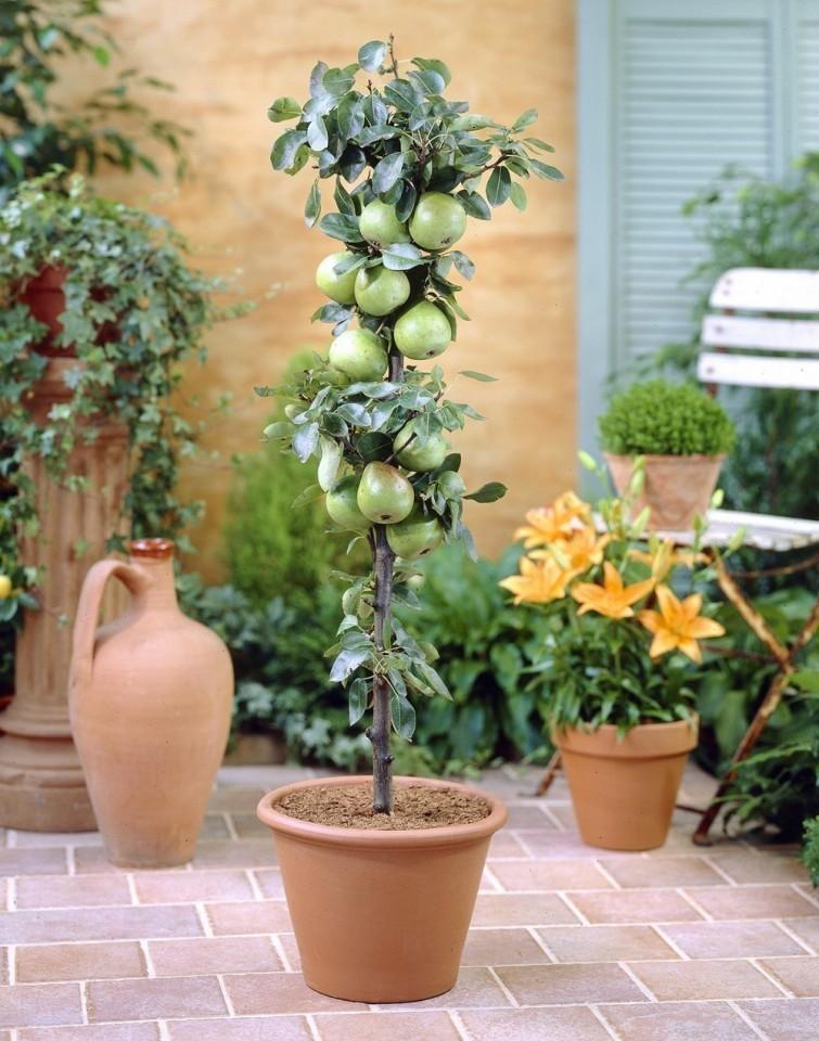 C mo cultivar rboles frutales en casa construir tv for Arboles frutales para el jardin